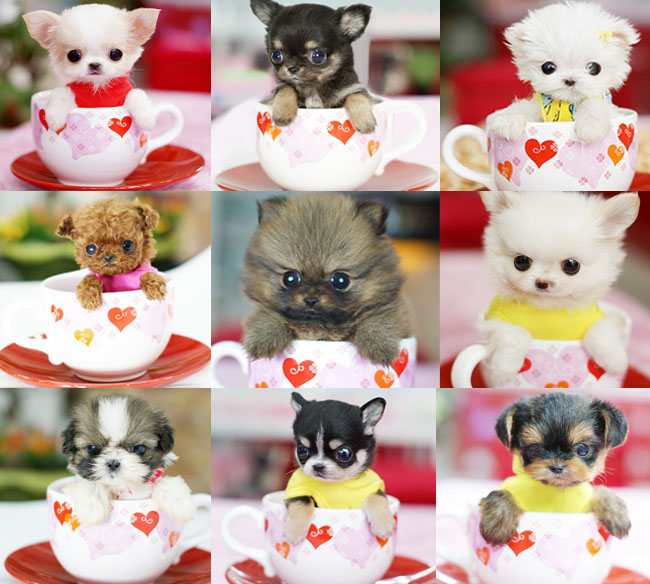 Teacup Puppies cute