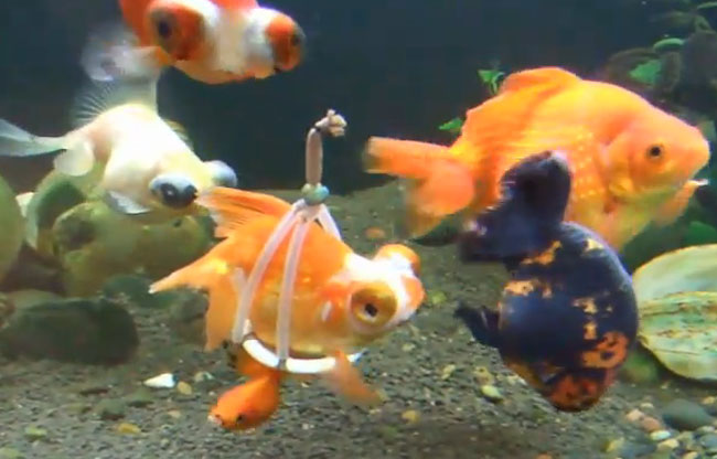 Fish Wheelchair Inundated with Praise