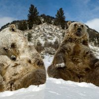 The Abominable Snow Job - Bigfoot just a Bear says Scientist