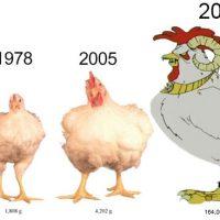 Supersized chickens product of selective breeding Ultra Mega Chicken Aqua Teen Hunger Force