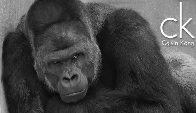 sexy gorilla Shabani Japan Higashiyama Zoo Calvin Klein